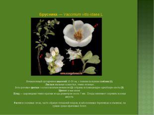Брусника — Vaccinium vitis-idaea L Вечнозеленый кустарничек высотой 10-30 см,