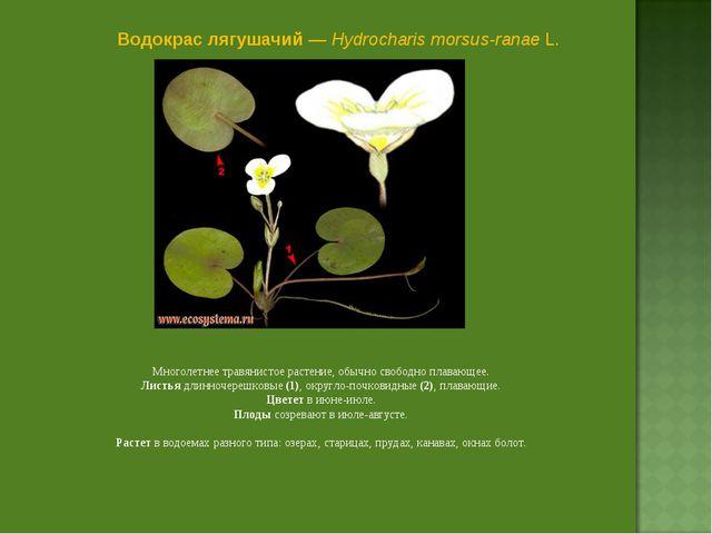 Водокрас лягушачий — Hydrocharis morsus-ranae L. Многолетнее травянистое раст...