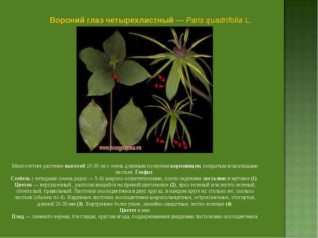 Вороний глаз четырехлистный — Paris quadrifolia L. Многолетнее растение высот...