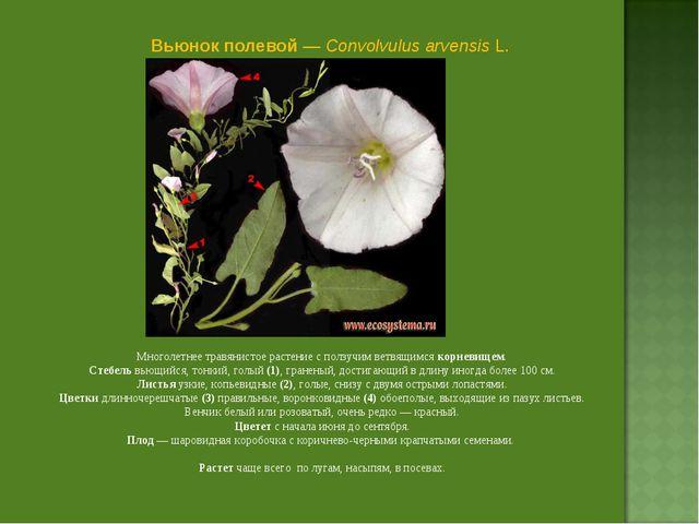 Вьюнок полевой — Convolvulus arvensis L. Многолетнее травянистое растение с п...