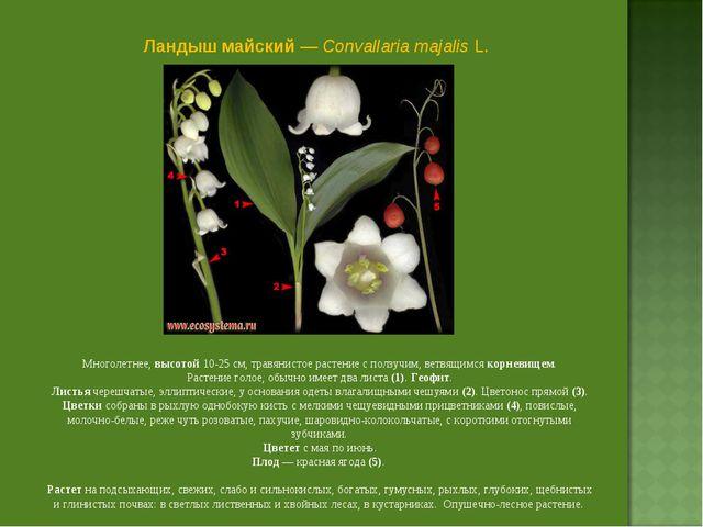 Ландыш майский — Convallaria majalis L. Многолетнее, высотой 10-25 см, травян...