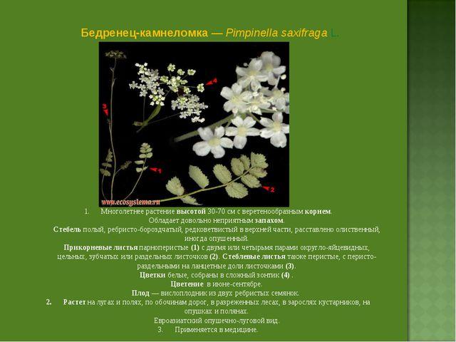 Бедренец-камнеломка — Pimpinella saxifraga L. Многолетнее растение высотой 3...