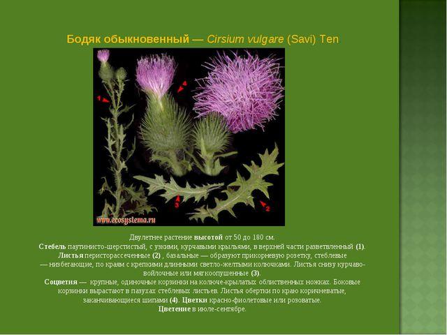 Бодяк обыкновенный — Cirsium vulgare (Savi) Ten. Двулетнее растение высотой о...