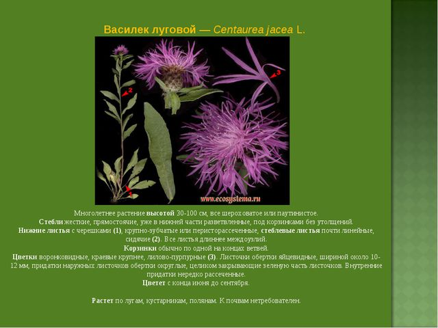 Василек луговой — Centaurea jacea L. Многолетнее растение высотой 30-100 см,...