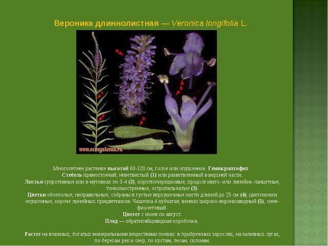 Вероника длиннолистная — Veronica longifolia L. Многолетнее растение высотой...