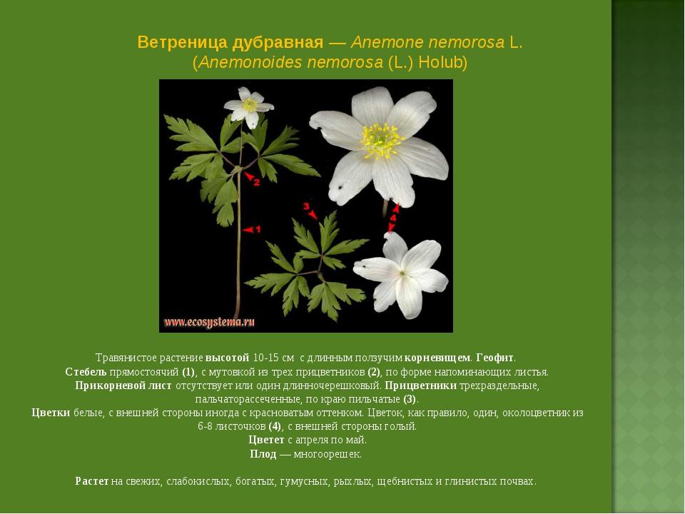Ветреница дубравная — Anemone nemorosa L. (Anemonoides nemorosa (L.) Holub) Т...