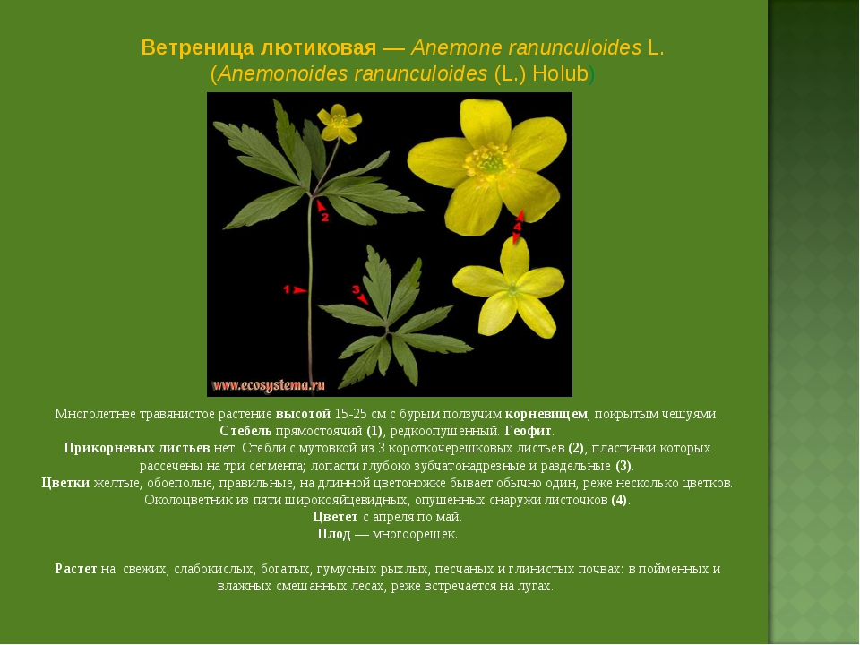 Ветреница лютиковая — Anemone ranunculoides L. (Anemonoides ranunculoides (L....