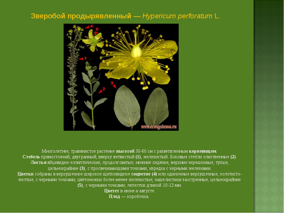 Зверобой продырявленный — Hypericum perforatum L. Многолетнее, травянистое ра...