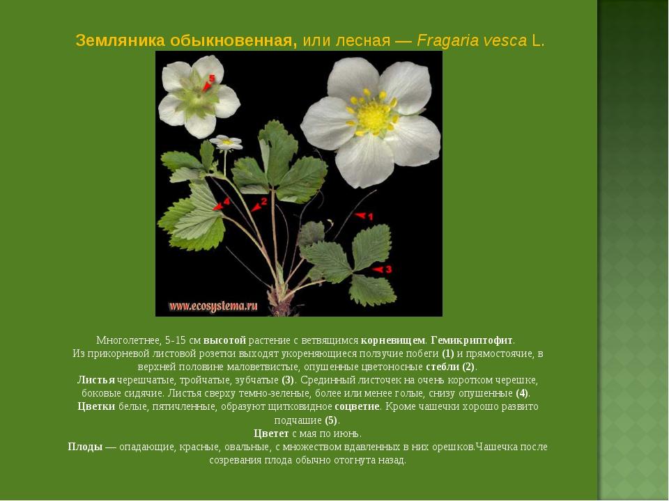 Земляника обыкновенная, или лесная — Fragaria vesca L. Многолетнее, 5-15 см в...