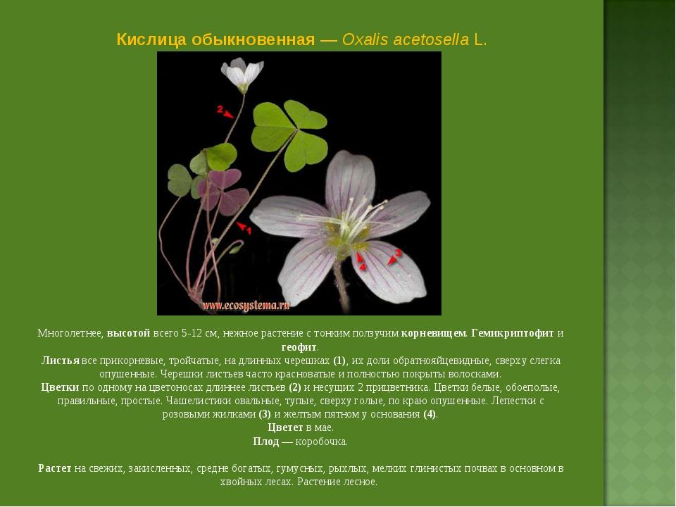 Кислица обыкновенная — Oxalis acetosella L. Многолетнее, высотой всего 5-12 с...