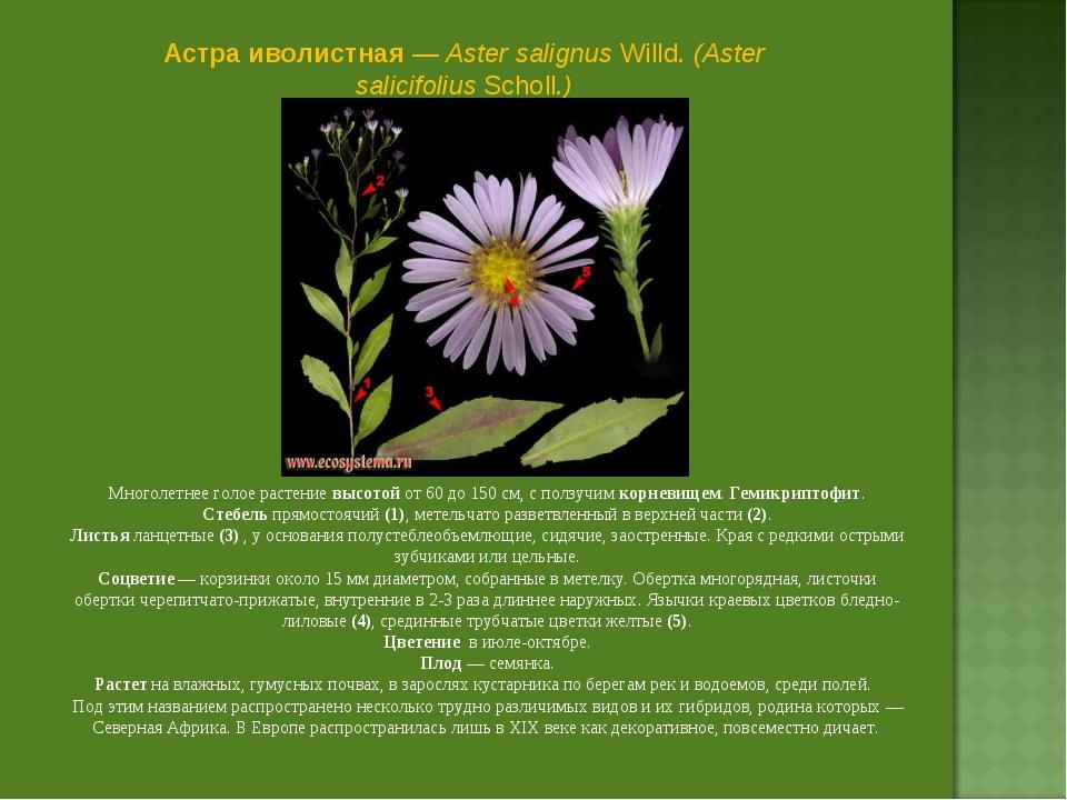 Астра иволистная — Aster salignus Willd. (Aster salicifolius Scholl.) Многоле...