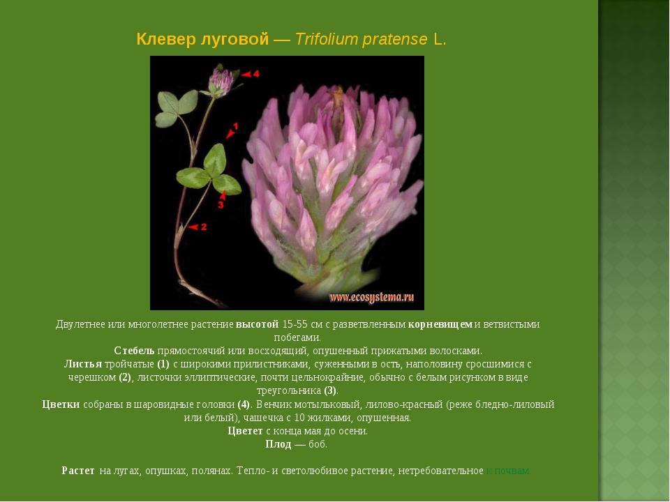 Клевер луговой — Trifolium pratense L. Двулетнее или многолетнее растение выс...