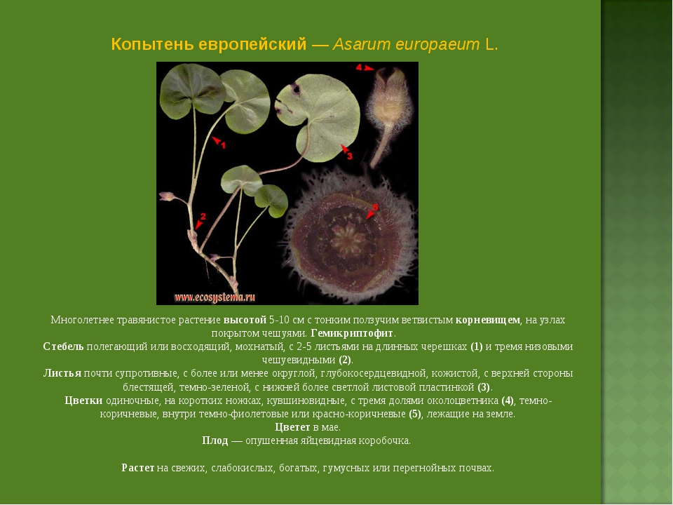 Копытень европейский — Asarum europaeum L. Многолетнее травянистое растение в...