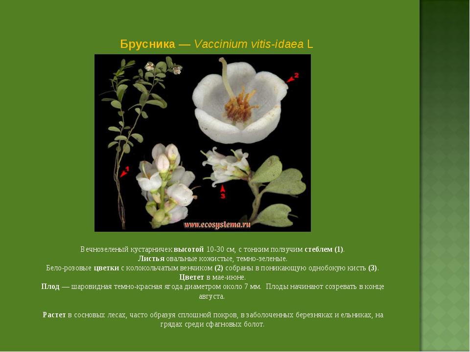 Брусника — Vaccinium vitis-idaea L Вечнозеленый кустарничек высотой 10-30 см,...