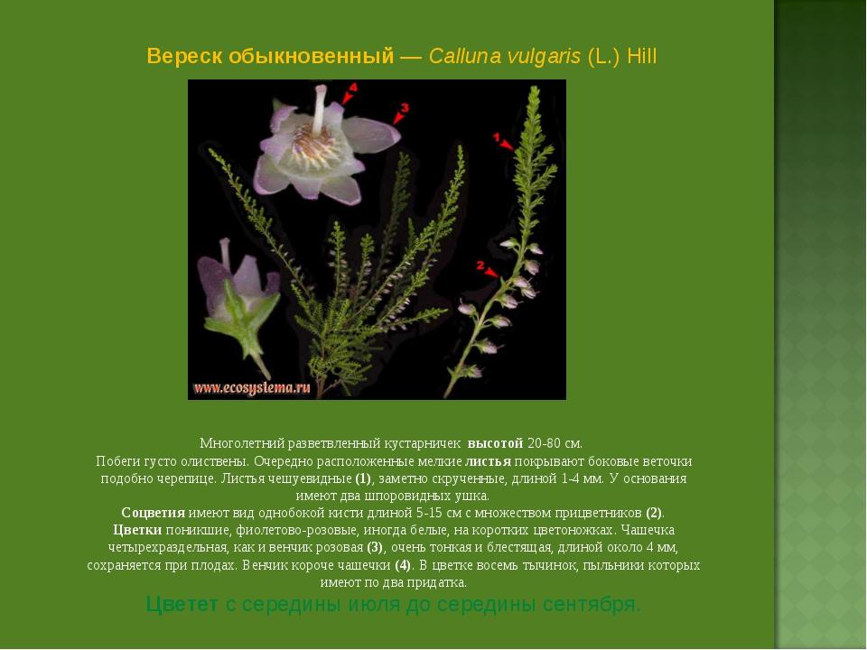 Вереск обыкновенный — Calluna vulgaris (L.) Hill Многолетний разветвленный ку...