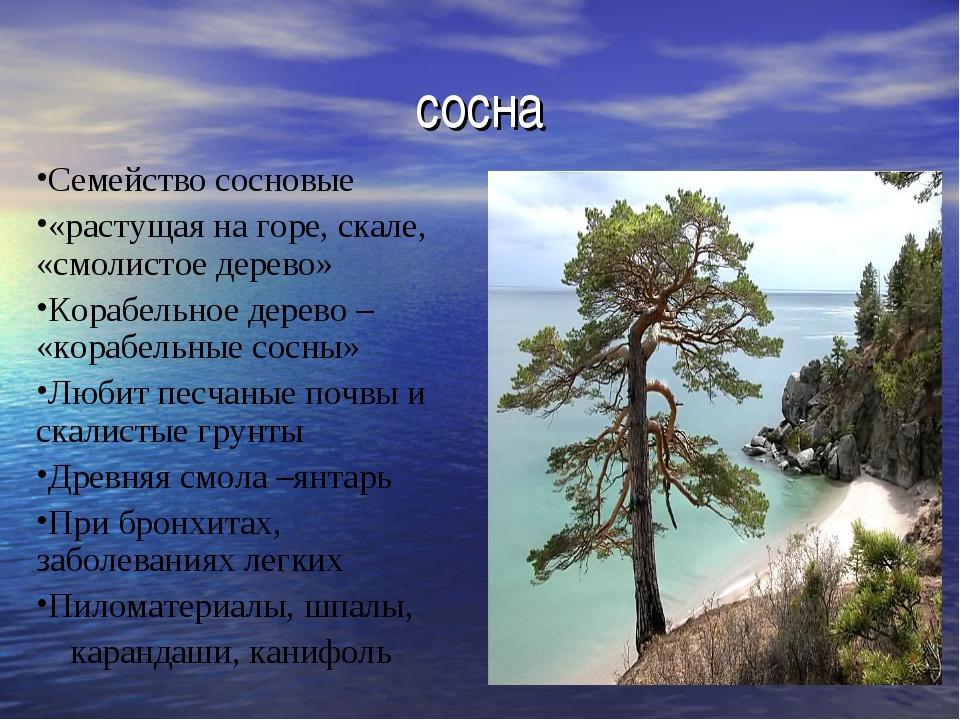 сосна Семейство сосновые «растущая на горе, скале, «смолистое дерево» Корабел...