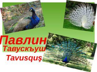 Павлин Тавускъуш Tavusquş