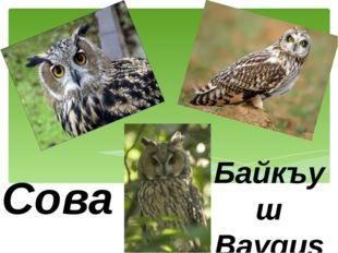 Сова Байкъуш Bayquş