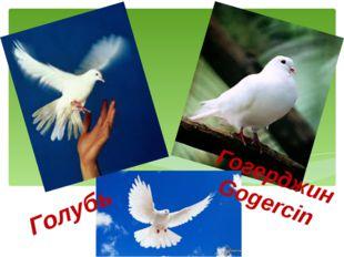 Гогерджин Gogercin Голубь