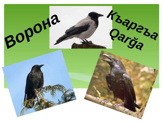 Къаргъа Qarğa Ворона