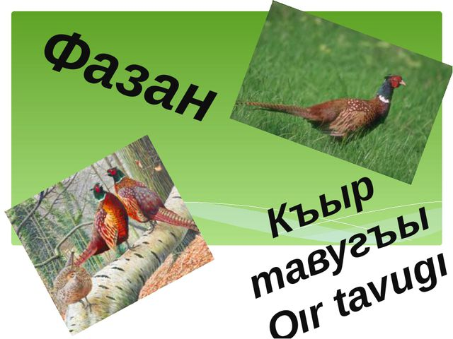Фазан Къыр тавугъы Qır tavugı