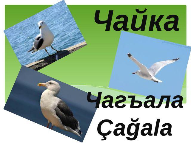 Чайка Чагъала Çağala