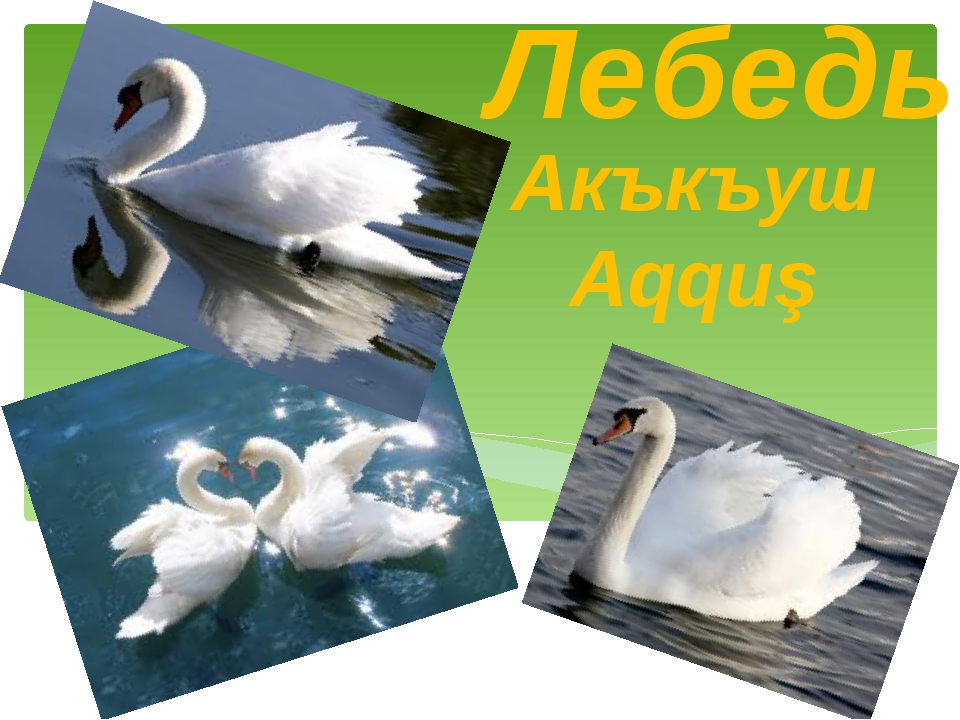 Лебедь Акъкъуш Aqquş