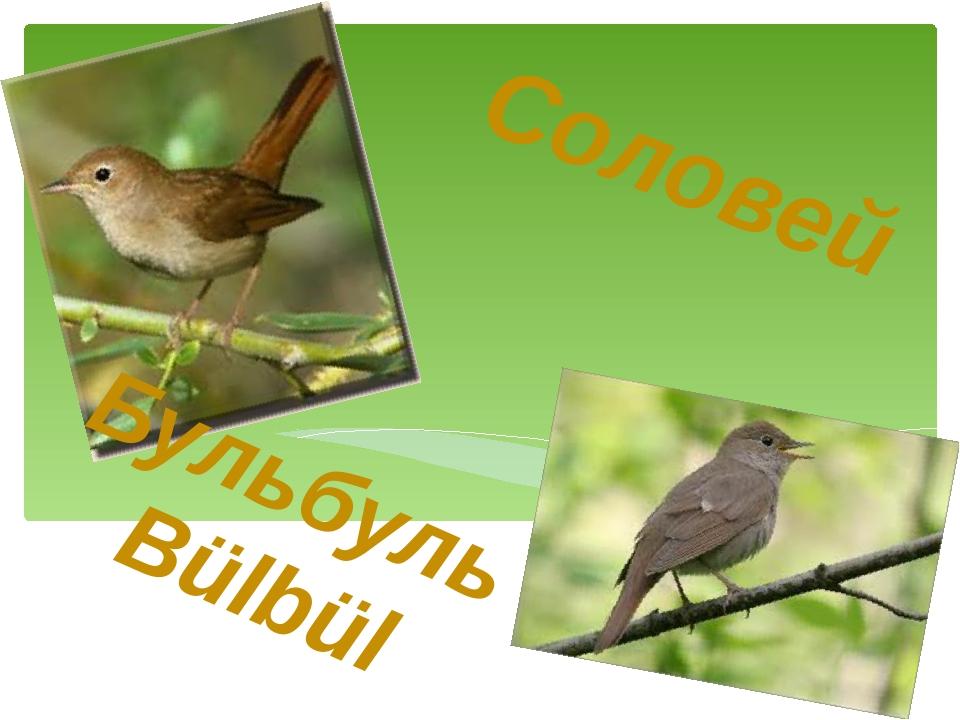 Соловей Бульбуль Bülbül
