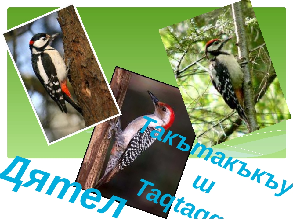 Дятел Такътакъкъуш Taqtaqquş