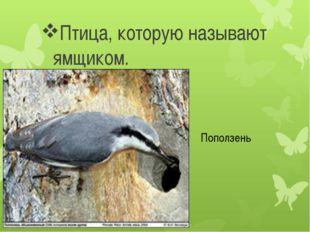 Птица, которую называют ямщиком. Поползень