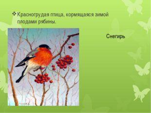 Красногрудая птица, кормящаяся зимой плодами рябины. Снегирь