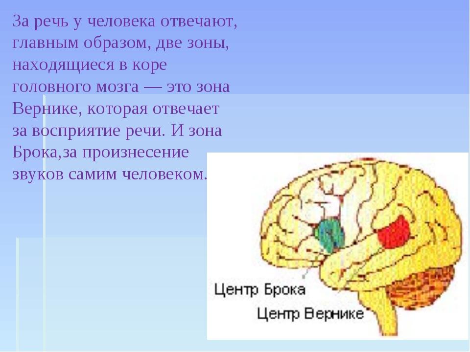 За речь у человека отвечают, главным образом, две зоны, находящиеся в коре го...