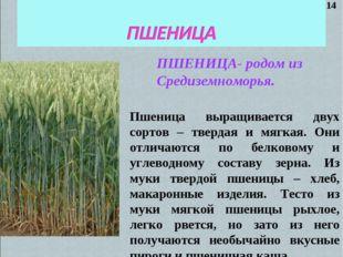 ПШЕНИЦА- родом из Средиземноморья. Пшеница выращивается двух сортов – твердая