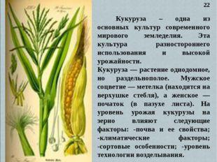 Кукуруза – одна из основных культур современного мирового земледелия. Эта ку