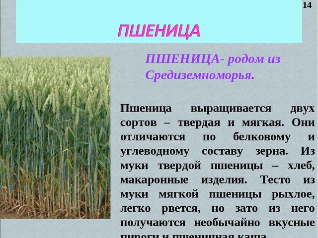 ПШЕНИЦА- родом из Средиземноморья. Пшеница выращивается двух сортов – твердая...