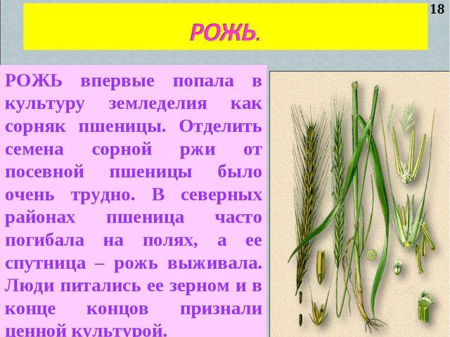 РОЖЬ впервые попала в культуру земледелия как сорняк пшеницы. Отделить семена...