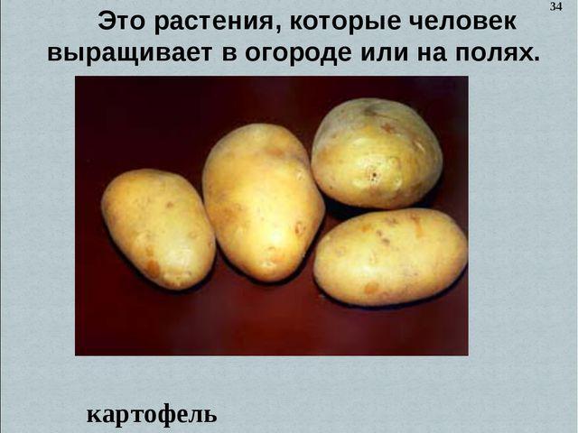 Это растения, которые человек выращивает в огороде или на полях. картофель 34
