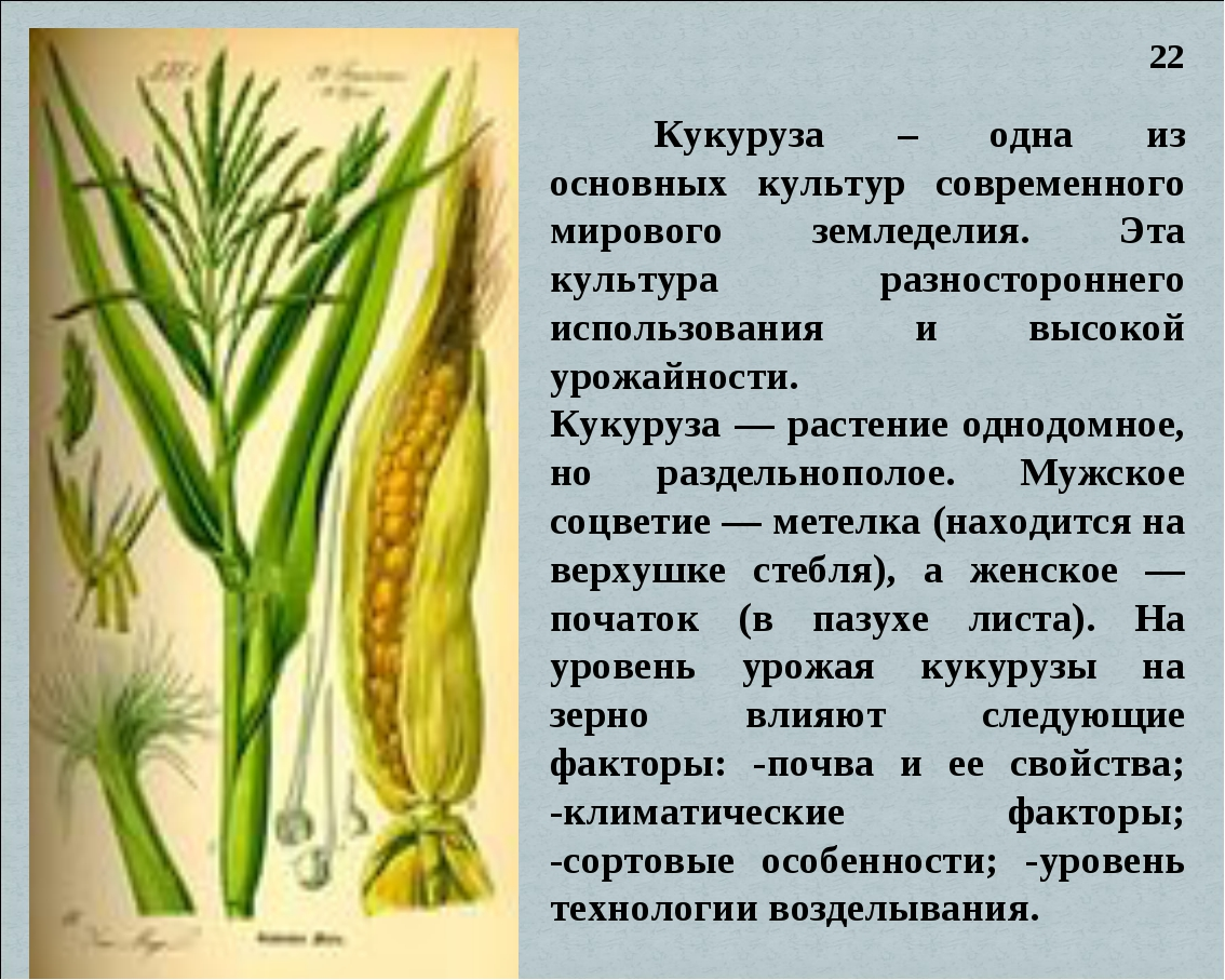 Кукуруза – одна из основных культур современного мирового земледелия. Эта ку...
