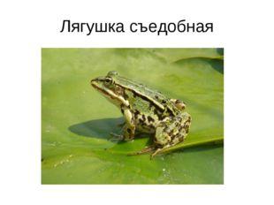 Лягушка съедобная