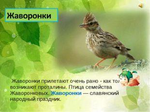 Жаворонки прилетают очень рано - как только возникают проталины. Птица семей