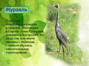 Род птиц семействанастоящих журавлей, обитающих вЕвропе,Азии, Северной Ам