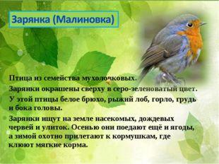 Птицаиз семействамухоловковых. Зарянки окрашены сверху в серо-зеленоватый ц