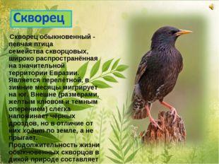 Скворец обыкновенный - певчая птица семействаскворцовых, широко распростран