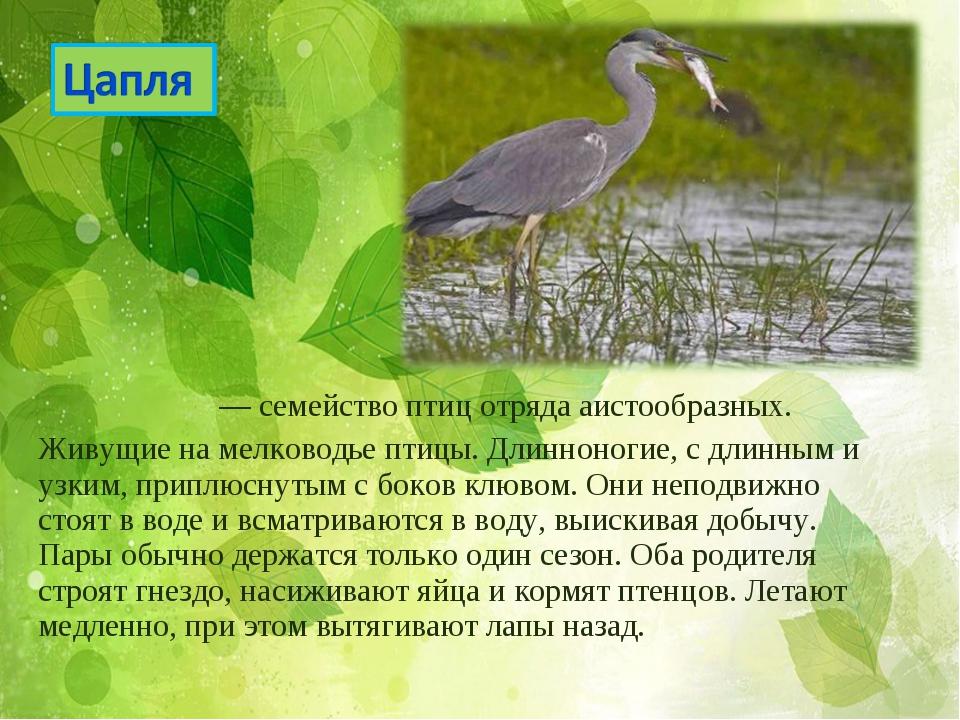 Ца́плевые— семействоптицотрядааистообразных. Живущие на мелководье птицы...