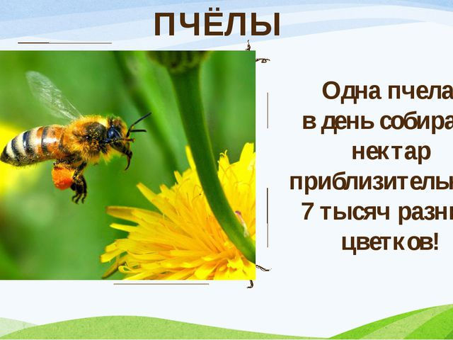 ПЧЁЛЫ Одна пчела в день собирает нектар приблизительно с 7 тысяч разных цветк...