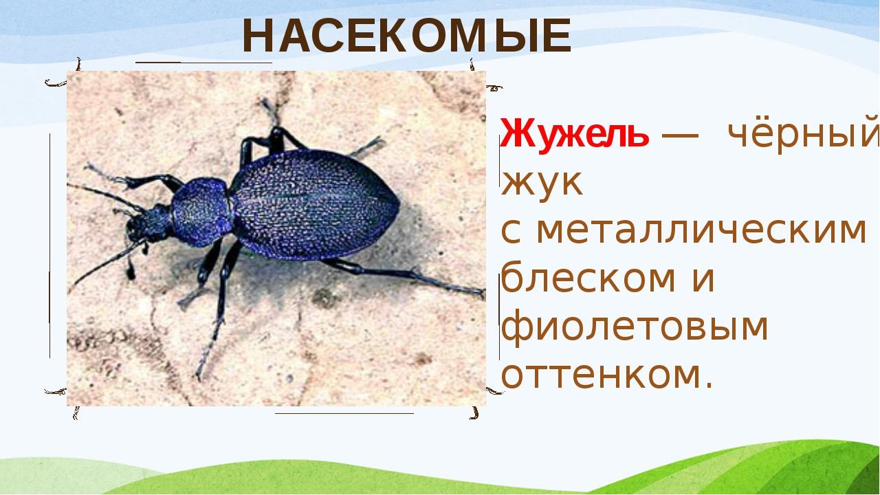 НАСЕКОМЫЕ Жужель — чёрный жук с металлическим блеском и фиолетовым оттенком.