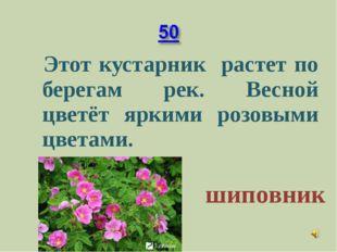Этот кустарник растет по берегам рек. Весной цветёт яркими розовыми цветами.