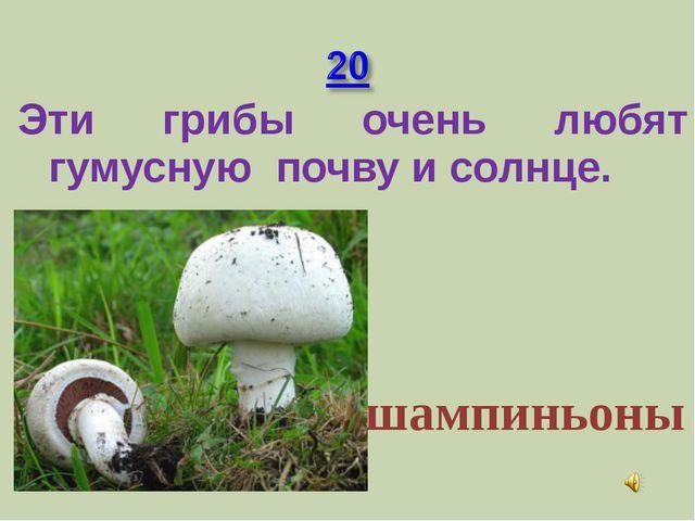 Эти грибы очень любят гумусную почву и солнце. шампиньоны
