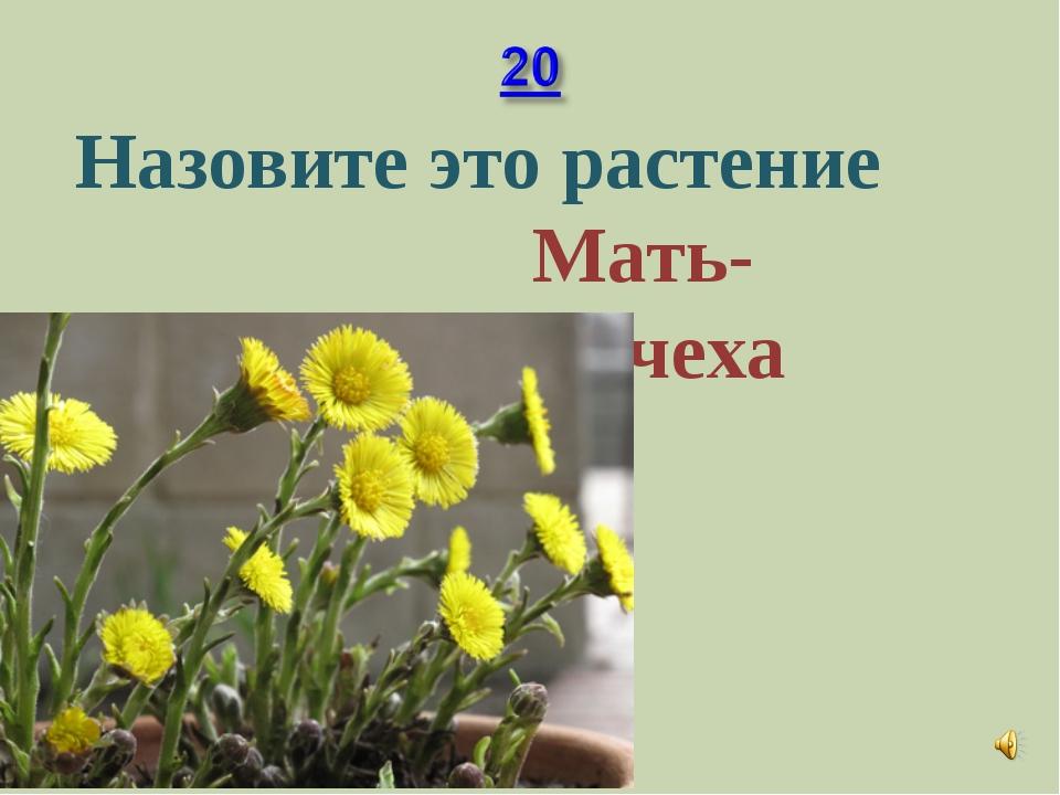 Назовите это растение Мать-мачеха