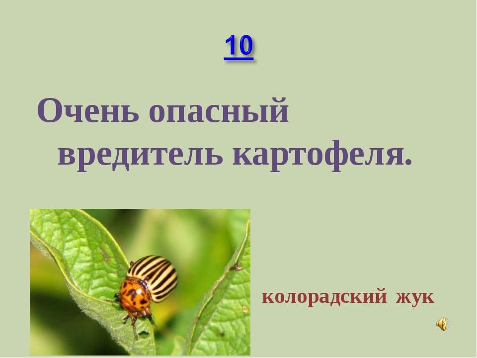 Очень опасный вредитель картофеля. колорадский жук